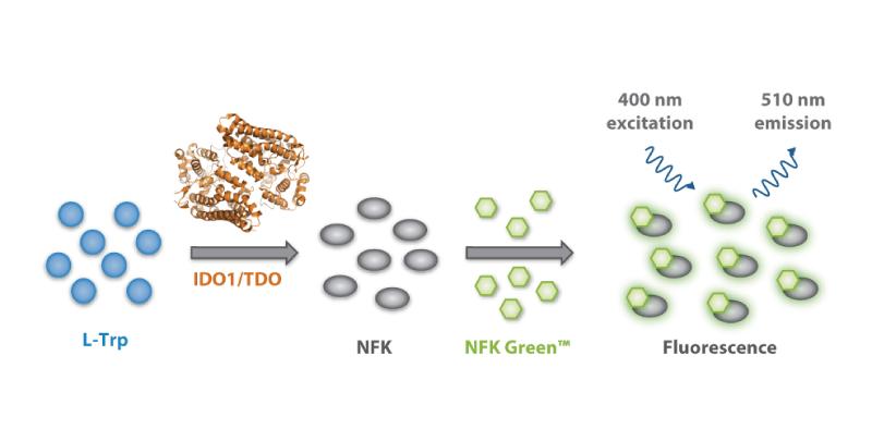 Schematic representation of NFK Green™ assay